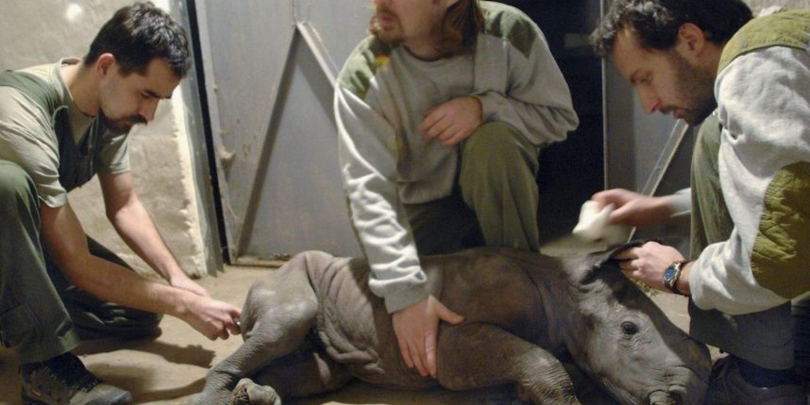 2. Estos buscan los cuernos de estos animales. Foto:Getty Images