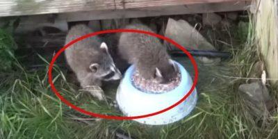 VIDEO: A este mapache sí que le gusta la leche, miren cómo la bebe