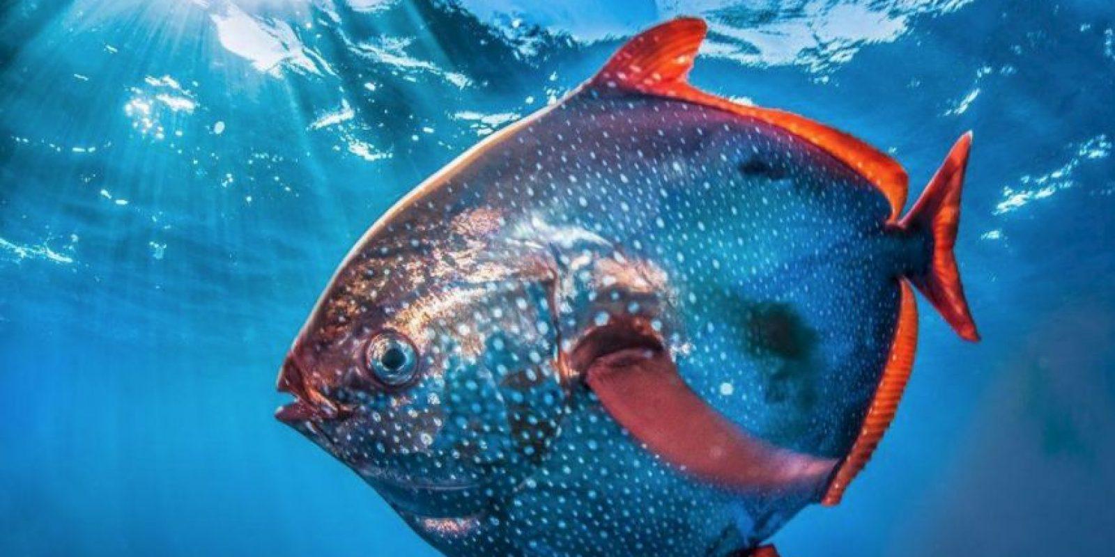 La Administración Nacional Oceánica y Atmosférica de Estados Unidos, descubrió al primer pez con sangre caliente. Foto:Vía swfsc.noaa.gov