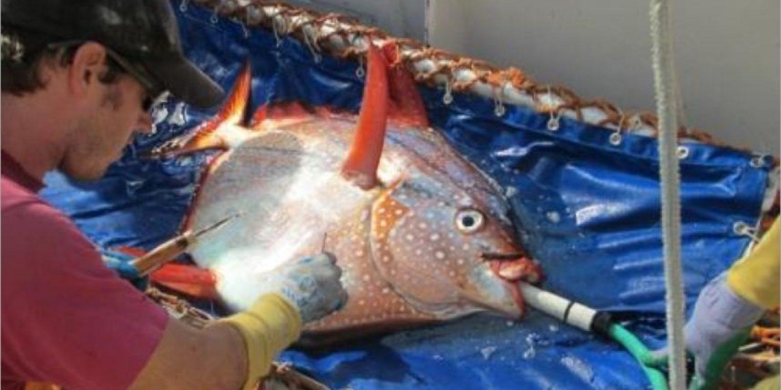 El pez opah o pez luna es aproximadamente del tamaño de un gran neumático de automóvil. Foto:Vía swfsc.noaa.gov
