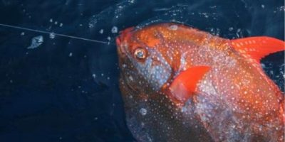 Este tipo de pez vive en zonas profundas y con poca luz Foto:Vía swfsc.noaa.gov
