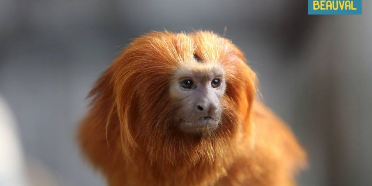 Roban monos de una especie rara en un zoológico de Francia