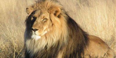 La cabeza de Cecil nunca apareció. Foto:vía Getty Images