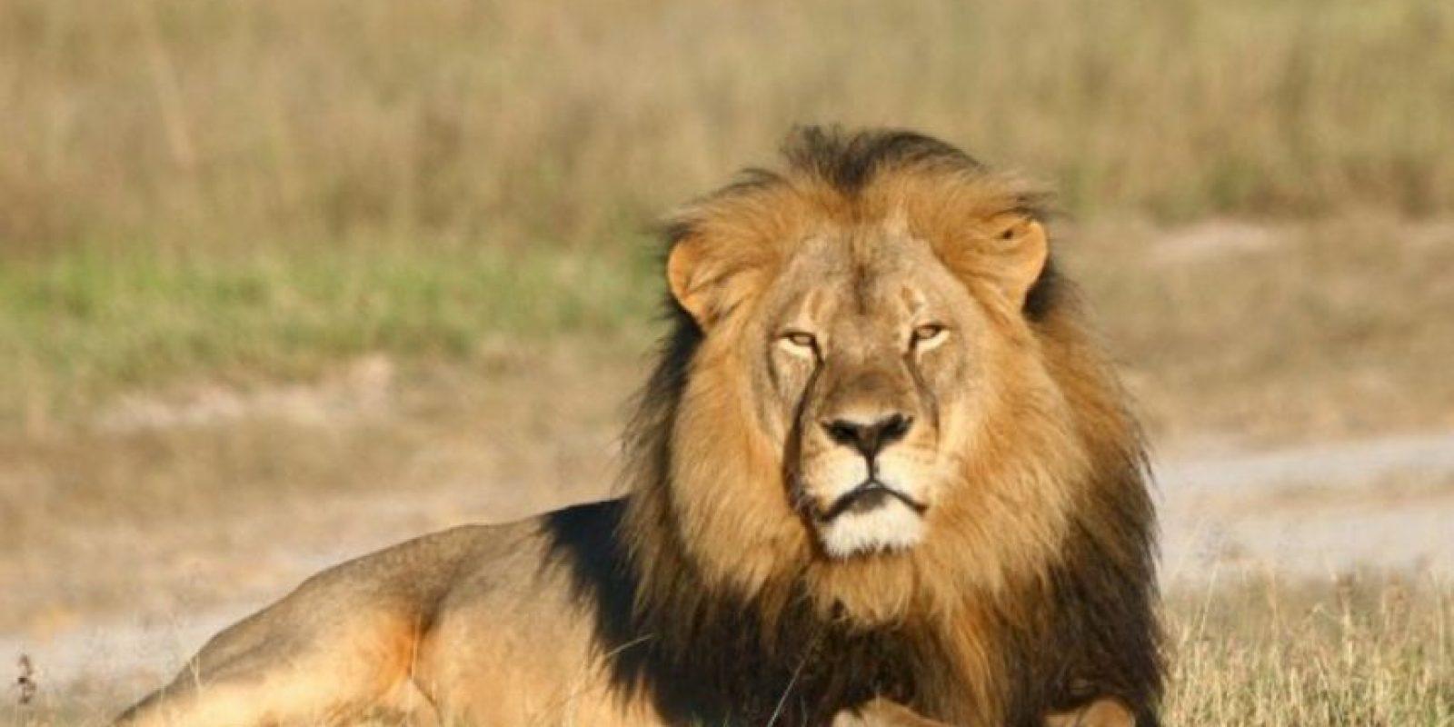 La forma en como murió Cecil, el león más famoso de África, ha indignado al mundo. Foto:vía Getty Images