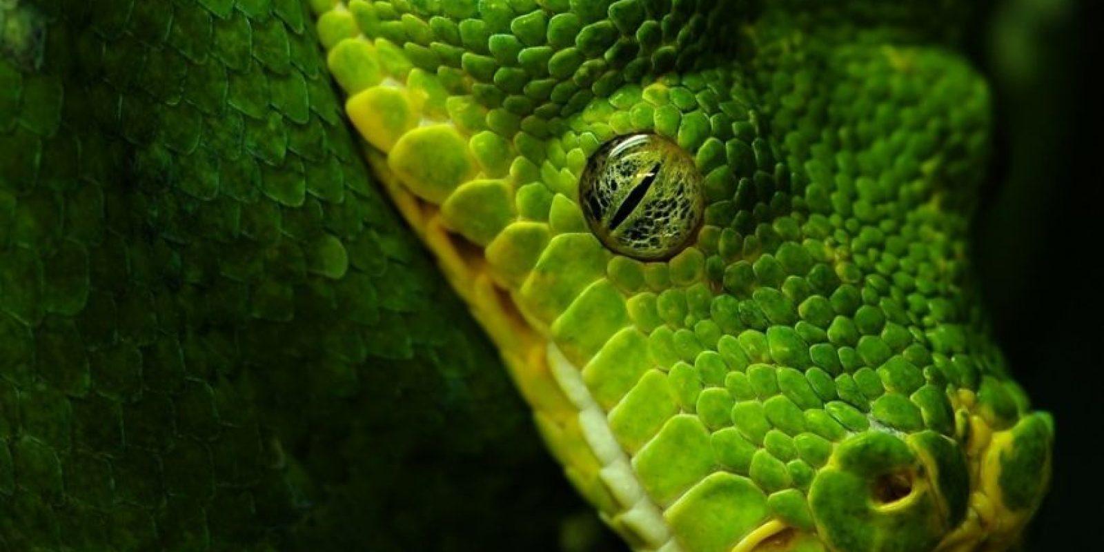 Las serpientes se caracterizan por la ausencia de extremidades y cuerpo alargado. Algunas poseen mordeduras venenosas, como las cobras y las víboras, que utilizan para matar a sus presas antes de ingerirlas. Foto:Pixabay