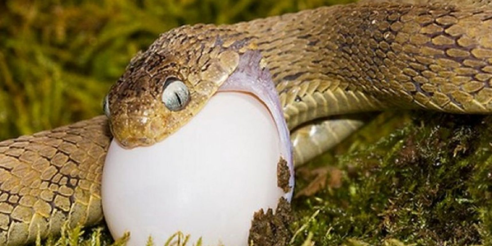 Otras serpientes, como las boas y pitones, matan a sus presas por constricción. Foto:Flickr