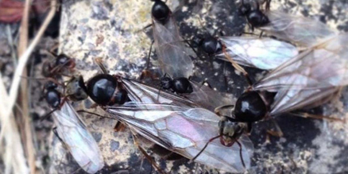 FOTOS: Invasión de hormigas voladoras en Inglaterra