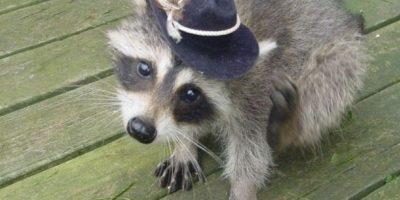 Este mapache solo posa Foto:Imgur