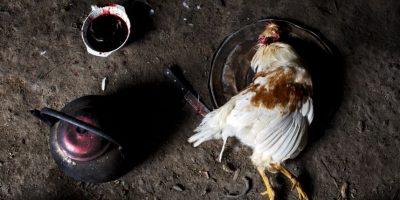 En esta fotografía tomada el 15 de marzo de 2015, un pollo sacrificado yace encima de la tapa de una sartén, para luego ser cocinado en una sopa que hará parte de una cena especial para celebrar el segundo aniversario de la muerte de Yuri Gálvez, en La Mar, provincia de Ayacucho, Perú. Gálvez, de 25 años, fue asesinado en marzo de 2013 durante un viaje en el que contrabandeaba cocaína. Las muertes de los mochileros quechuas que transportan cocaína a menudo no se denuncian. Los cuerpos que aparecen en los senderos montañosos carecen de documentos de identidad y los aldeanos los entierran en silencio. Foto:AP Foto/Rodrigo Abd