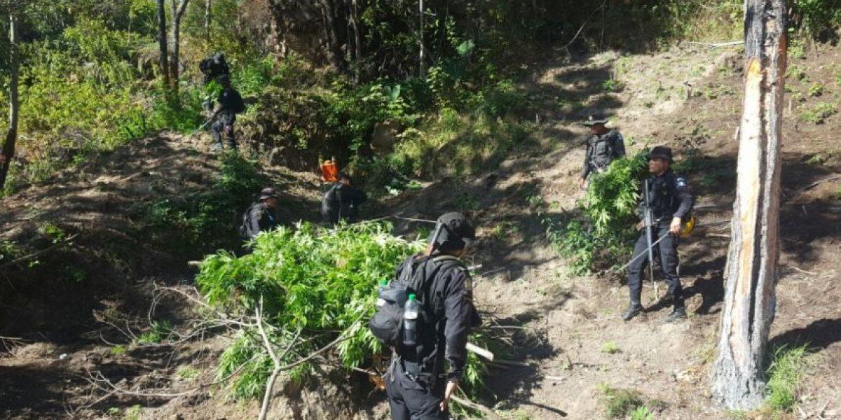 Suman más de 3 millones de plantas de marihuana erradicadas en lo que va del año