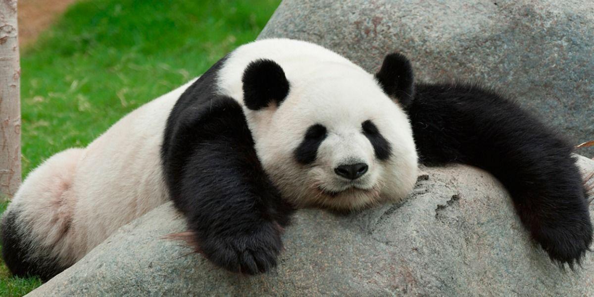 Video: Amarán a este oso panda haciendo abdominales