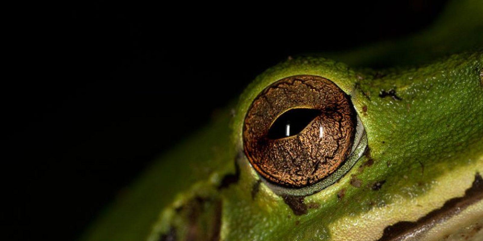 El ojo de una rana arborícola. Foto:© Rodolfo Pérez/WWF