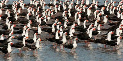 Rayadores americanos. Se estima que cada invierno más de 200 mil aves llegan a Marismas Nacionales en busca de climas más cálidos. Foto:Octavio Aburto