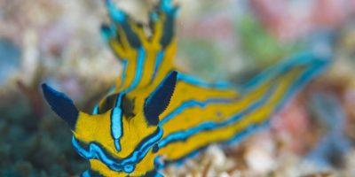 """Este pequeño molusco de nombre """"nudibranquios"""" es parte de la riqueza marina de Cabo Pulmo. Hay otros moluscos que destacan como los conos, el caracol alacrán, el caracol chino y la madre perla.  Foto:Octavio Aburto"""