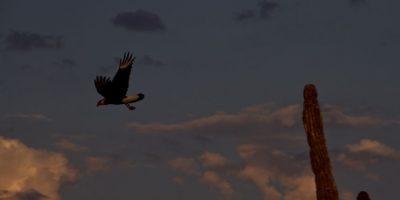 El águila pescadora (Pandion halieatus) es sólo una de las muchas especies de aves que han encontrado en Cabo Pulmo condiciones para seguir viviendo. Ligada a la costa esta especie prefiere sobrevolar zonas tranquilas y alejadas de la influencia humana.  Foto:Prometeo Lucero