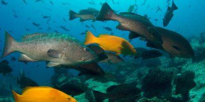 En esta zona clasificadas 226 especies de peces arrecifales, de las más de 800 listadas para el Golfo de California. Hay especies marinas comerciales como el pez vela, el pez gallo, el pez dorado y el marlín, así como mero, pargo, garropa, etc. Lo cuales no son sujetos a la pesca dentro de la Reserva Marina. Foto:Octavio Aburto