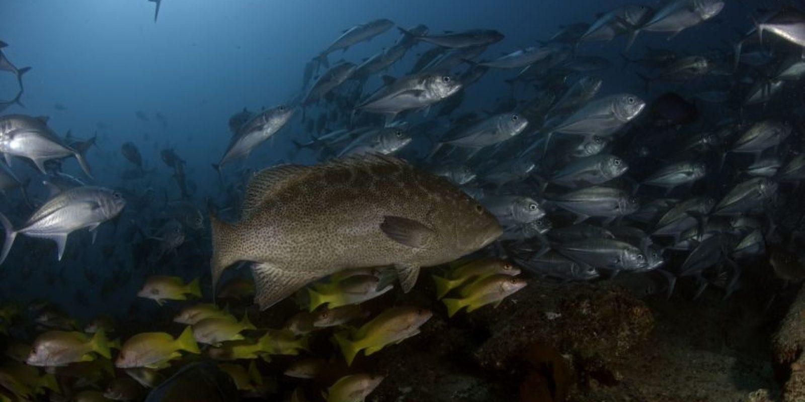 El Parque Nacional Cabo Pulmo es una de las áreas más importantes de la región del Golfo de California, también conocido como Acuario del mundo. Cabo Pulmo es el único ecosistema de arrecife coralino en el Golfo de California y como tal, representa un tipo particular de hábitat de comunidades de flora y fauna. Foto:Octavio Aburto