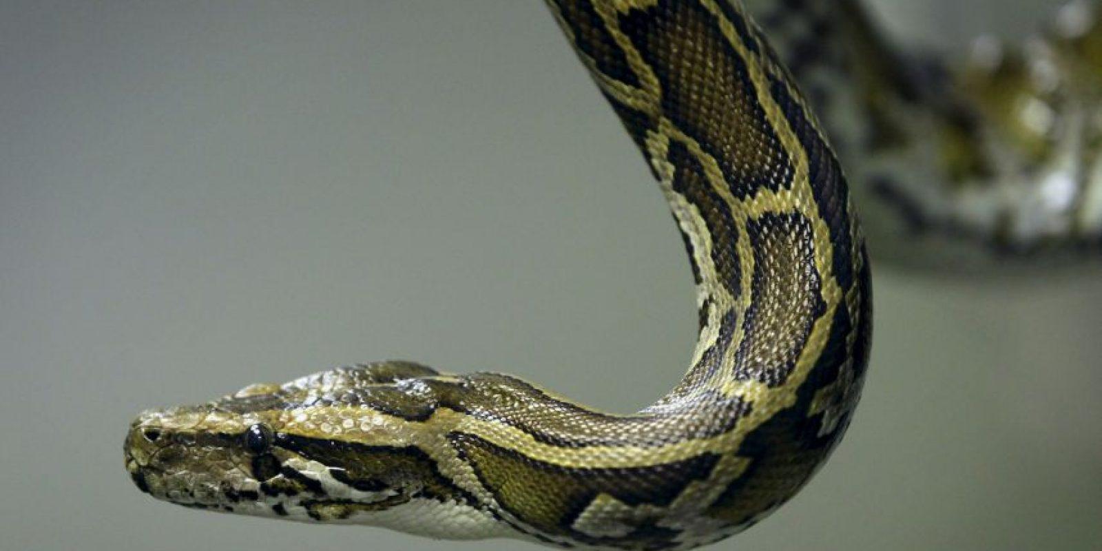 Mujeres tienen serpientes en el coño porno Sexo Con Serpientes Video Porno