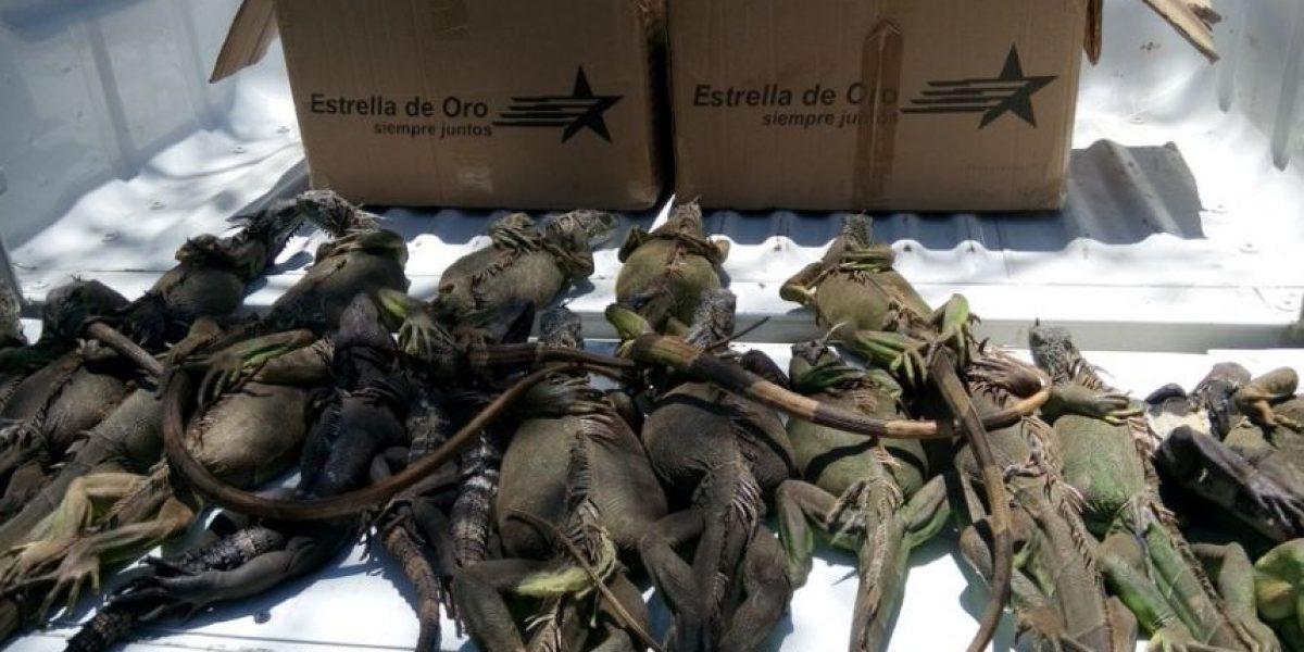 Profepa rescata a 20 iguanas enmaletas en Zihuatanejo, Guerrero