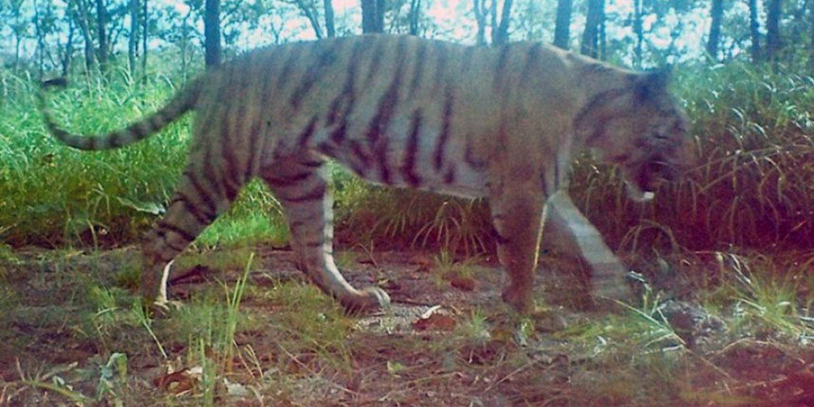 Estas son las últimas fotografías de un tigre de Camboya Foto:AFP