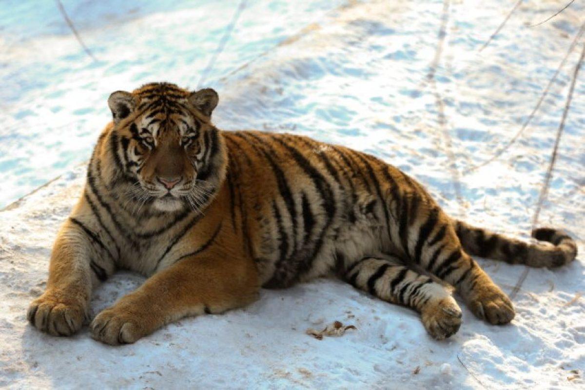 Datos que deben saber sobre los tigres Foto:Getty Images