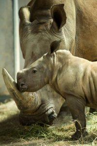 La velocidad de un rinoceronte es de más de 50 km por hora Foto:Getty Images