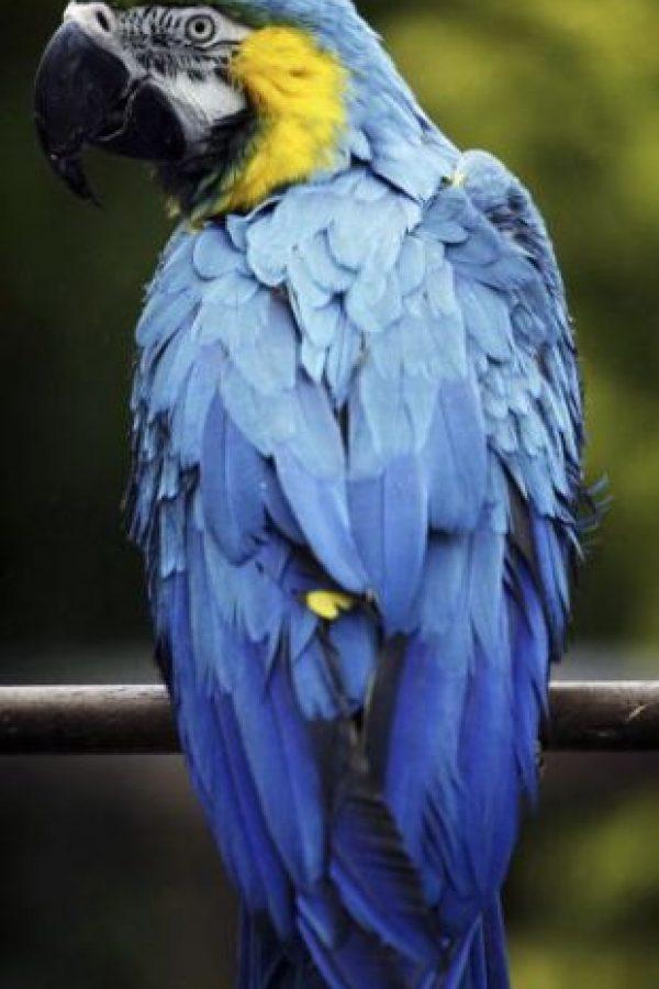Son un grupo de animales, de aves específicamente que se conocen popularmente con el nombre de loros o de papagayos Foto:Getty Images