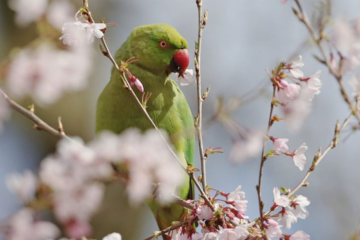 Otra característica de los loros es la intensa coloración de su plumaje. Foto:Getty Images