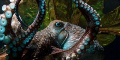 """La gente del acuario descubrió el escape gracias a las """"huellas"""" que dejó """"Inky"""". Foto:Facebook.com/NationalAquariumNZ"""
