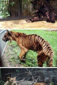 El peor zoológico del mundo: El zoológico de Surabaya, Indonesia. En enero se encontró a un león africano estrangulado en su jaula, ya que sufría de dolores estomacales. Pero este no fue el único caso: el año pasado, más de 40 animales murieron en el mismo zoológico. A una jirafa se le encontró plástico en su estómago y a un tigre, comida con formaldehído. La investigación en el zoológico reveló que muchos animales vivían en condiciones miserables. Foto:vía Oddee