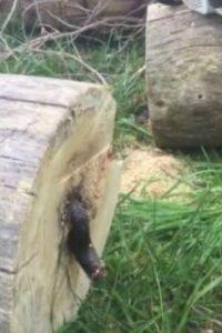 La serpiente vivía dentro del árbol. Foto:YouTube