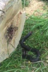 Sorprendió a todos cuando el tronco fue derribado. Foto:YouTube