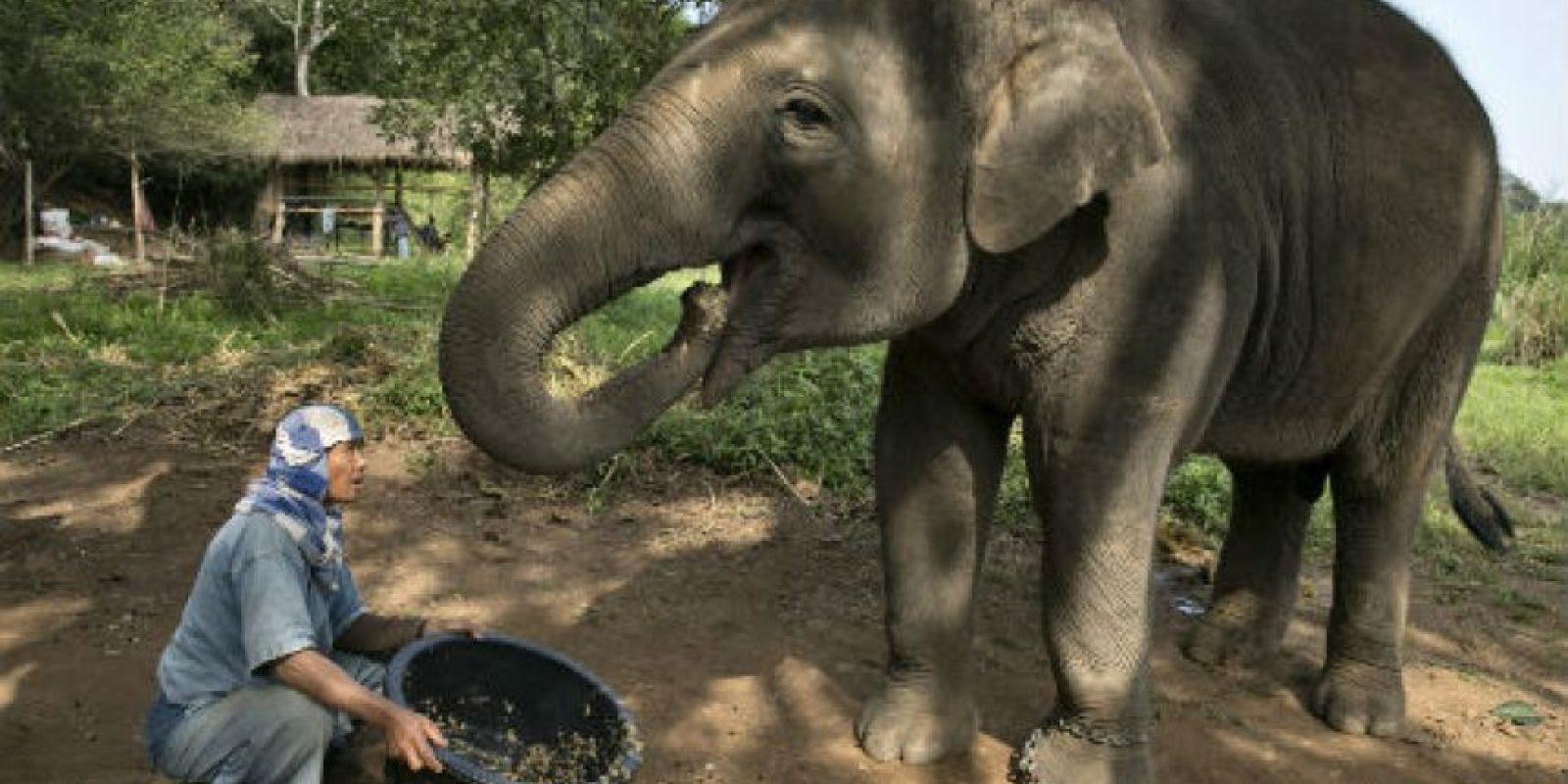 Los elefantes son los animales terrestres más grandes del mundo. Foto:Getty Images