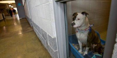 Pitbull, la raza del perro que atacó al niño Foto:Getty Images