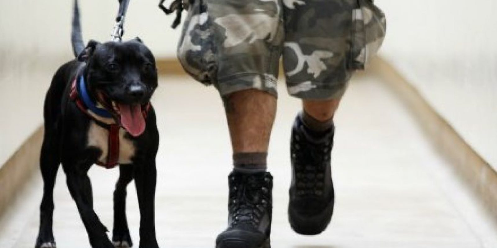 El nombre correcto es pit bull terrier americano. Foto:Getty Images