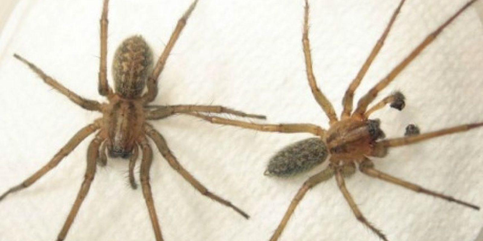Hobo Spider: la picadura de esta araña puede causar la muerte de los tejidos alrededor de la zona afectada. Foto:Simple.wikipedia.org