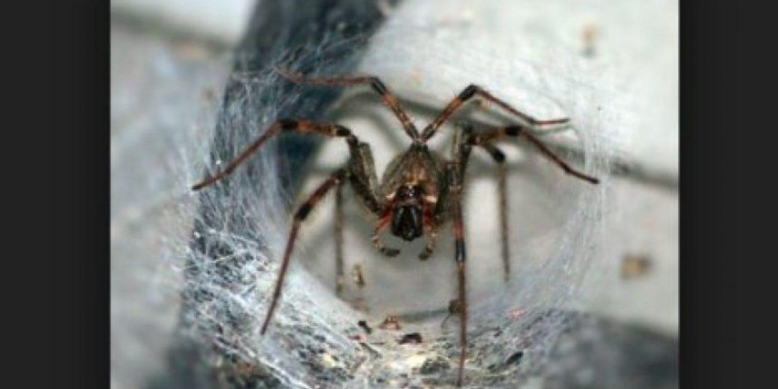 Araña tela de embudo: los síntomas de la mordedura pueden surgir y progresar rápidamente. Si no se tratan pueden causar una muerte dolorosa Foto:pixabay.com