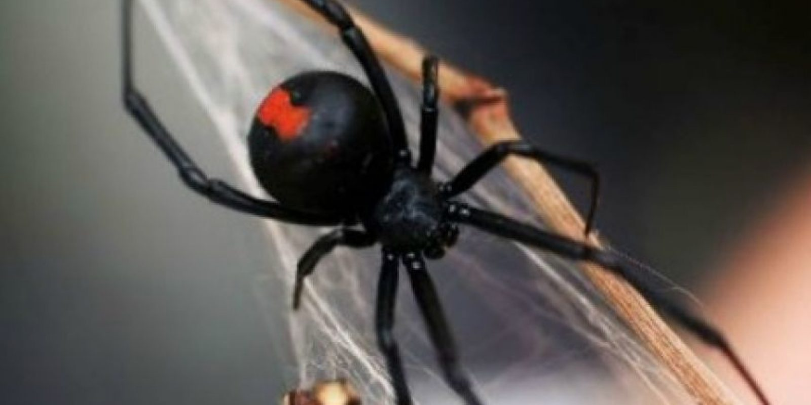 Araña espalda roja: su picadura puede ser muy dolorosa y mortal en algunos casos. Foto:aracnipedia.com