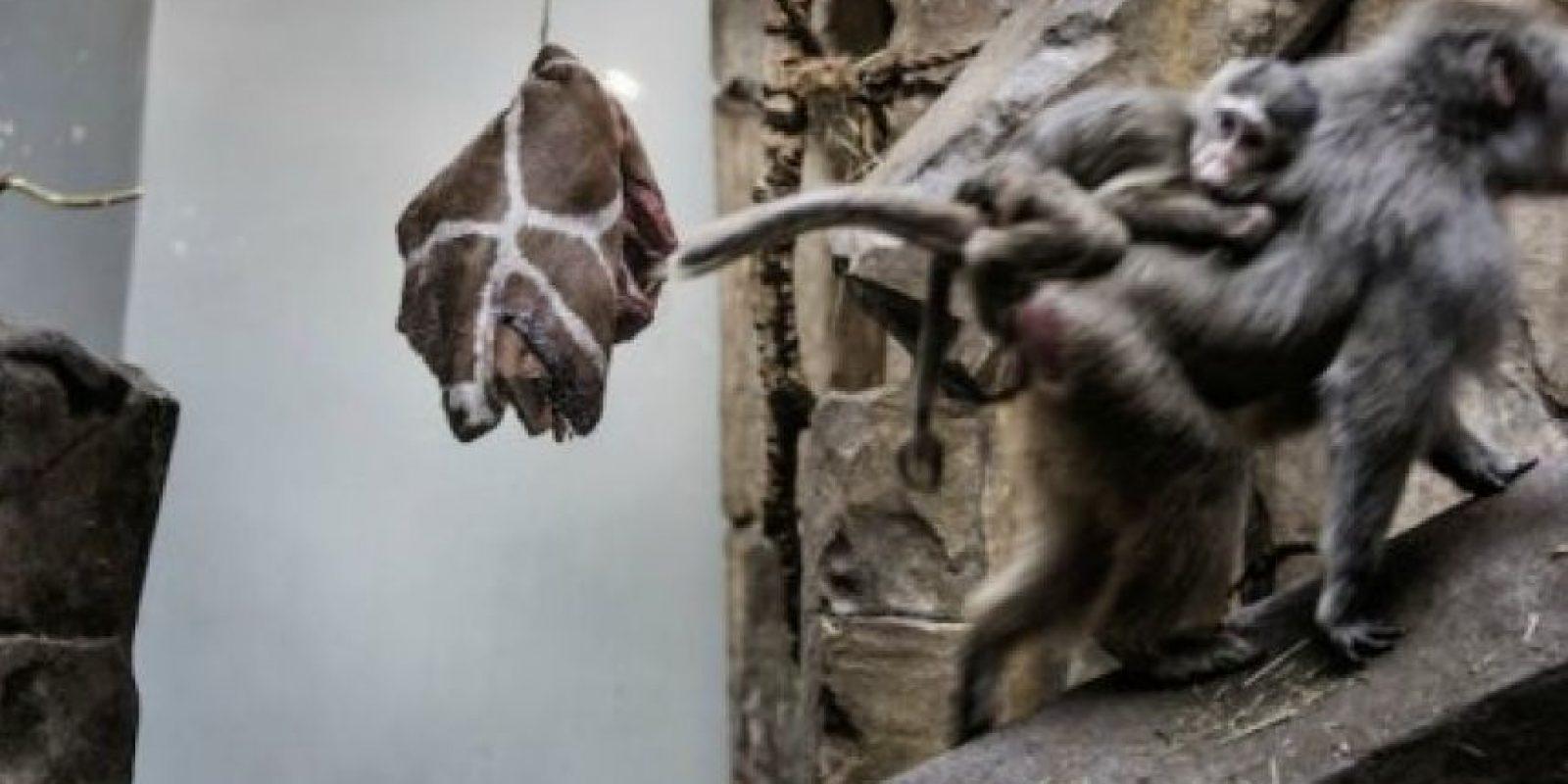 Poco después en el mismo año el Zoológico Jyllands Park, al oeste de Dinamarca, advirtió que tomaría la misma medida. Foto:AFP
