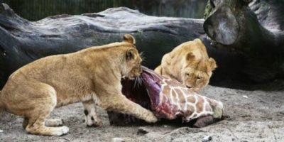 Sus restos sirvieron para alimentar a otros animales. Foto:AFP