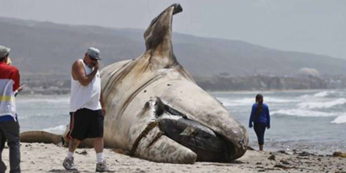 Retiran cadáver de ballena en California; pesaba 27 toneladas
