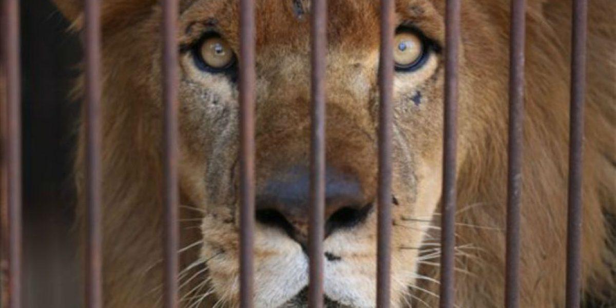 FOTOS: Rescatan a 33 leones de circos en Sudamérica