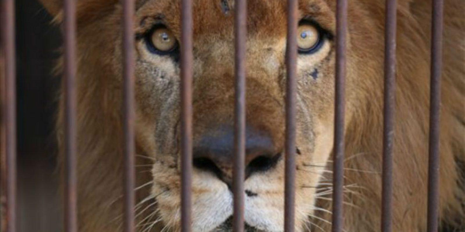 33 leones fueron rescatados de circos en Perú y Colombia Foto:AP