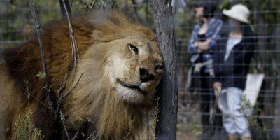 Ahora vivirán en el Santuario Emoya para Gatos Grandes Foto:AP