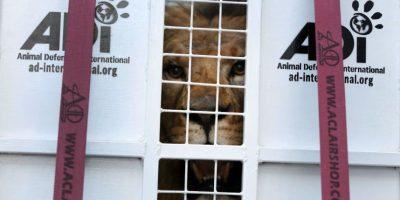 Como no pueden cazar serán alimentados por cuidadores Foto:AP
