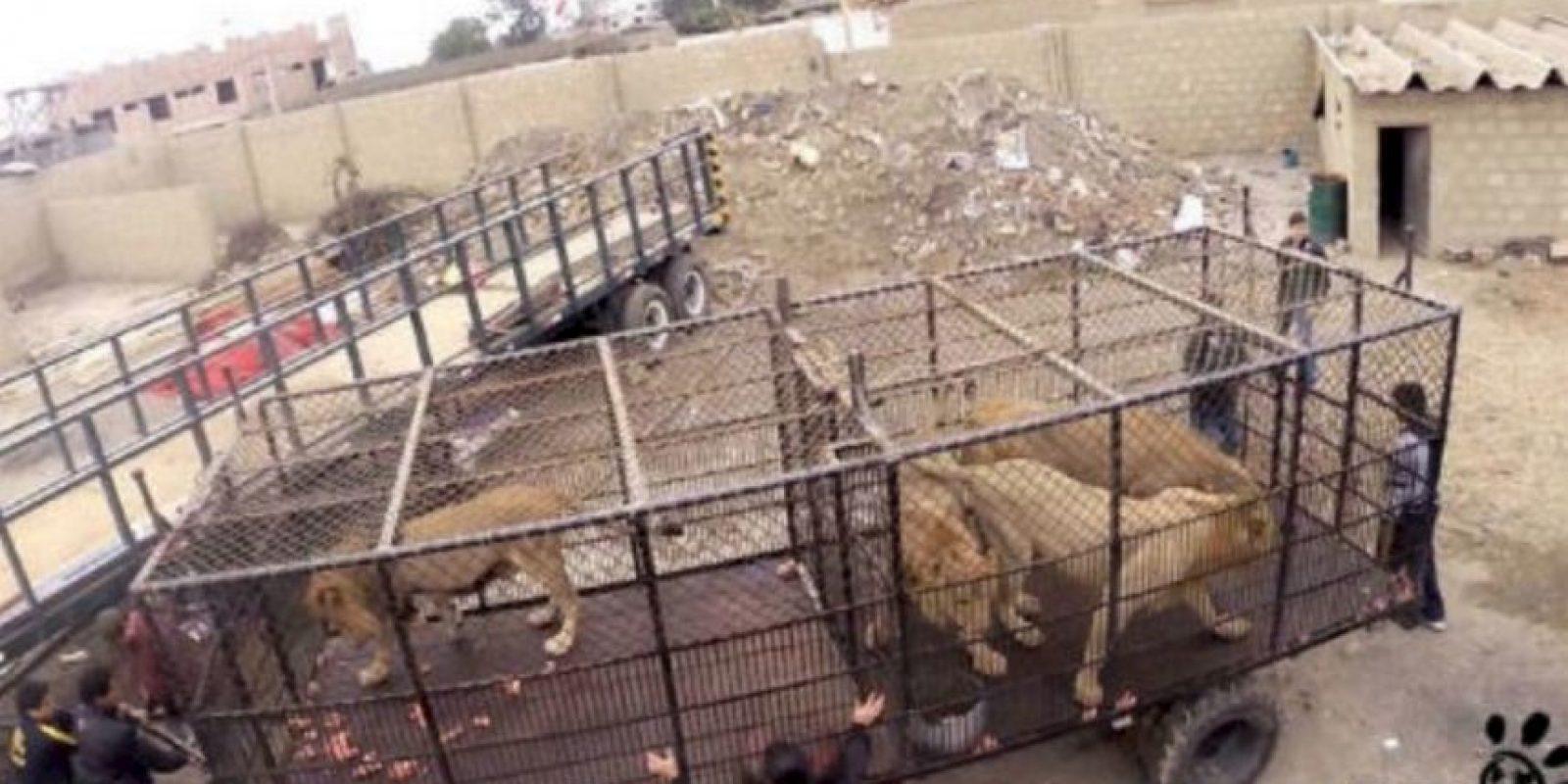 En septiembre de 2015 fue cuando Animal Defenders International (ADI) rescató a 33 leones. Foto:vía Facebook/AnimalDefenders