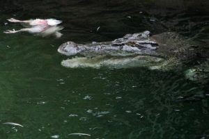 Se alimentan principalmente de vertebrados (peces, reptiles y mamíferos) Foto:Getty Images