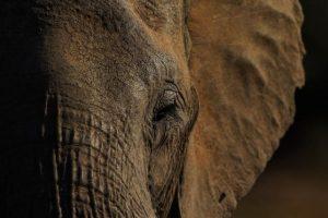 Datos que deben conocer sobre los elefantes Foto:Getty Images