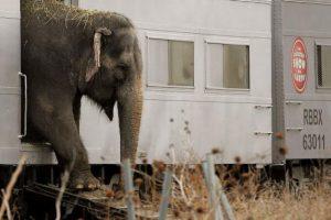 El periodo de gestación del elefantes de 22 meses, es el más largo de todos los animales terrestres. Foto:Getty Images