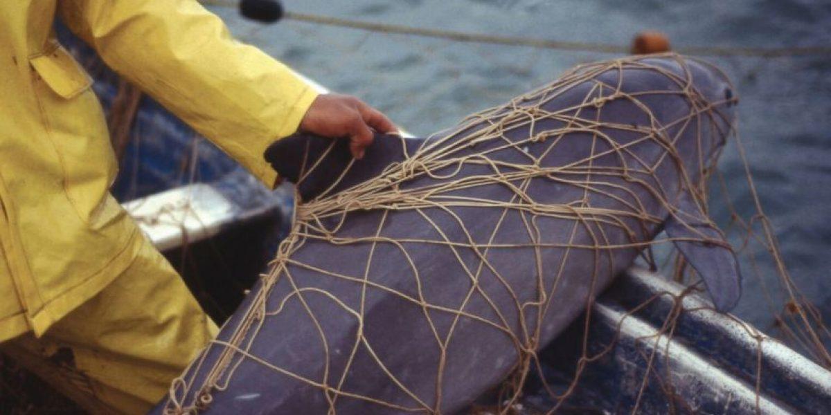 La vaquita marina está al borde de la extinción; estiman que hay 60 ejemplares